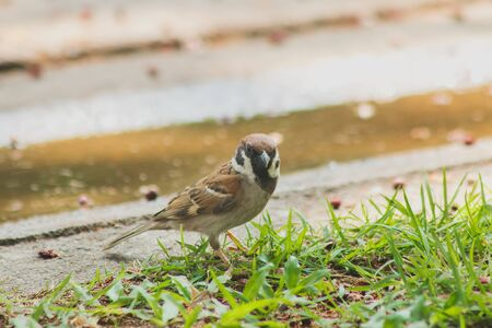 Eurasian Tree Sparrow is on the ground, Eurasian Tree Sparrow has dark brown color on the head and back of the neck. White cheeks have black spots on each cheek.