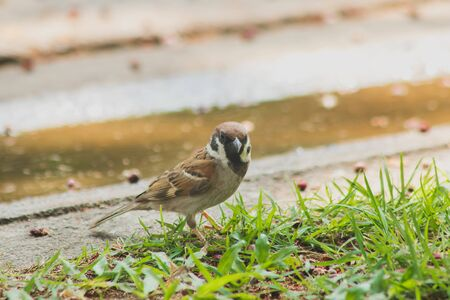 Eurasian Tree Sparrow is on the ground, Eurasian Tree Sparrow has dark brown color on the head and back of the neck. White cheeks have black spots on each cheek. Banque d'images