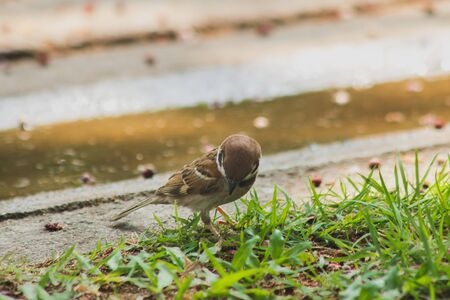 Eurasian Tree Sparrow is on the ground, Eurasian Tree Sparrow has dark brown color on the head and back of the neck. White cheeks have black spots on each cheek. 写真素材