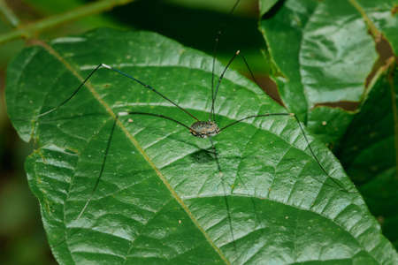 The black long-legged spider (kosynozhka) lives on the leaves in nature. Spread all over the world There are more than 6 thousand species.