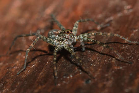 Spider, Lycosidae On the rock, Wolf spiders are members of the family Lycosidae. Archivio Fotografico
