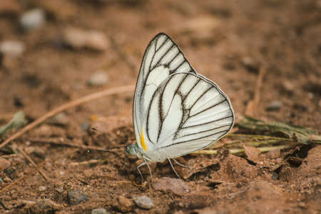The Green-veined White on the ground is found inhabited around the world. Especially in the tropics Often have yellow and white wings