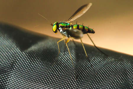 Dolichopodidae (long-legged flies) live in the leaves and grasses with small, green bodies, metal, adult predators. Eat other small insects for food