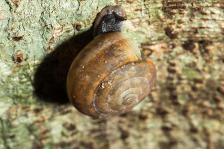 A snail is climbing up a tree, snails are classified as invertebrates. Phylum molluscum It is an ancient animal that originated in the middle of the Carboniferous period. Archivio Fotografico