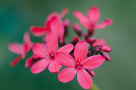 Peregrina, Spicy Jatropha, a red flower cluster at the end of the branch. It is a popular garden plant.