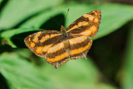 A butterfly on a leaf, Athyma nefte, is found in open, forested areas. 版權商用圖片