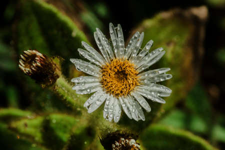 Water droplets on Aster ageratoides blooming white flowers with yellow stamens.
