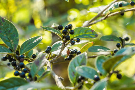 Antidesma thwaitesianum On the fully ripe branches turn black Classified as a wild fruit