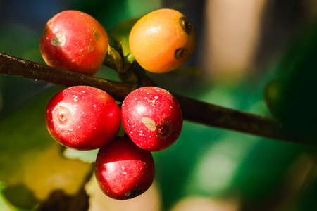 Red coffee beans on the branches waiting to be harvested. 版權商用圖片