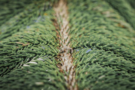 Description of Norfolk island pine, Norfolk island pine is one of the most popular types of ornamental pine.
