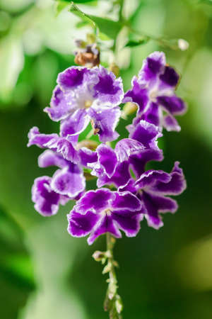 Duranta repens is a shrub with purple flowers and petals.
