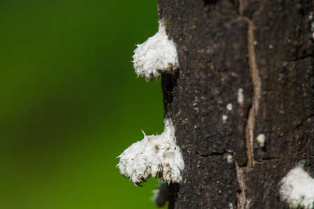 Pseudococcidae White on the tree trunk in the forest