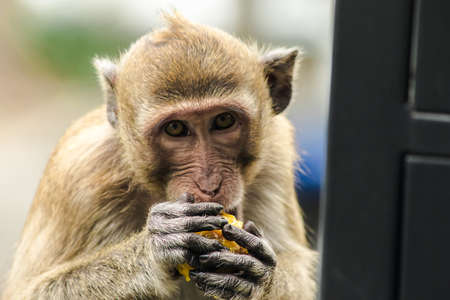 Crab-eating Macaque is eating the fruit in his hand.The macaque has brown hair on its body. The tail is longer than the length of the body. The hair in the middle of the head is pointed upright. Reklamní fotografie