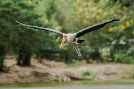 Painted Stork is flying over the pond. To feed on the herd in shallow waters along rivers or lakes