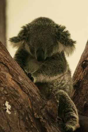 Koala fell asleep in the tree. Usually koalas move slowly. Spend 16–24 hours of sleep per day. To maintain energy