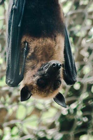 Lyles flying fox hanging upside down in a zoo cage
