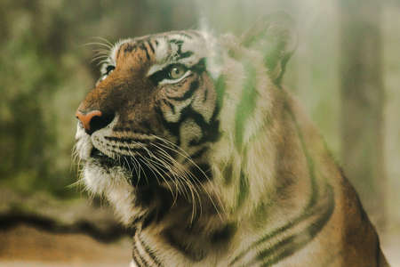 The tiger's gaze had a terrifying eye.The eyes of a tiger look.Tigers have the brightest eyes of all beasts.