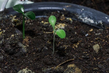 The seeds germinate, leaving young leaves out of the soil to grow. Reklamní fotografie