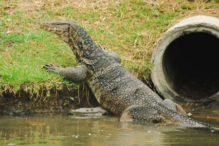 Water monitor; Varanus salvator) is a large reptile. Living near the water Reklamní fotografie