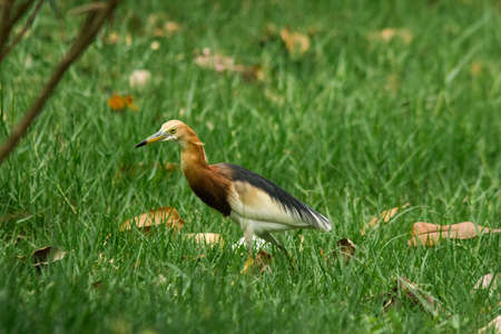 Javan pond heron has yellow mouth, black tip, black head, neck and chest.