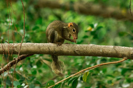 Northern treeshrew on a branch.