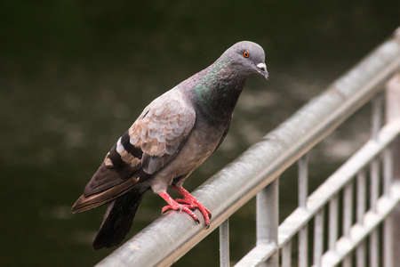 Dove standing on the fence , Pigeon is a bird that is Dove standing on the fence , Pigeon is a bird that is related to humans from the past to the present. Raised for beauty Raising for communication