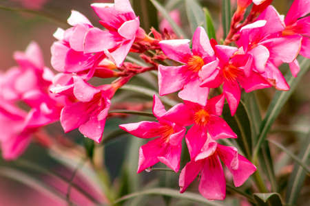 Oleander, beautiful blooming pink, is classified as a popular ornamental flower plant.