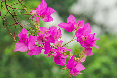 Bougainvillea glabra Choisy pink is a popular ornamental flower plant.