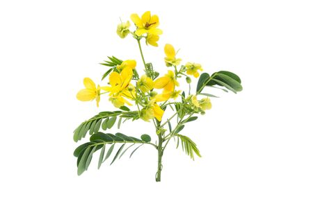 cassia: Glaucous Cassia flower on white background