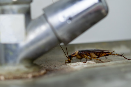 The cockroach crawling around faucet. 스톡 콘텐츠 - 116986823