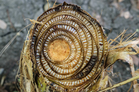 Photo of banana stump that start to decay.