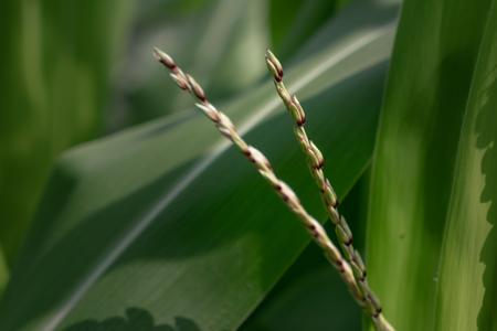 Photo of corn plants tassel (Zea mays)