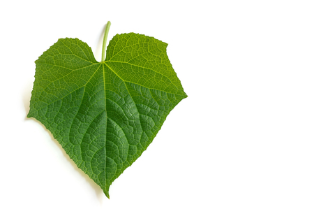 Photo of Cucumber leave on white background