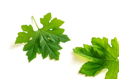 Photo of two bitter melon leaves on white background