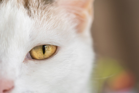 The left eye of the white cat.