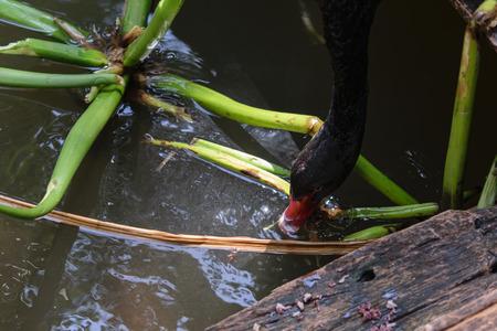Ein schwarzer Schwan trinkt Wasser