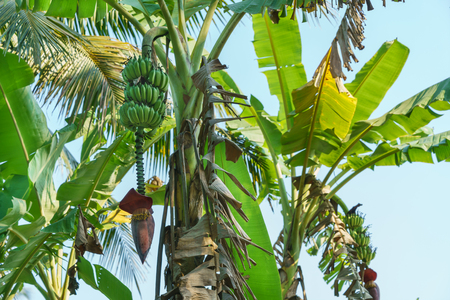 The banana blossom on the banana tree in the garden Stock Photo