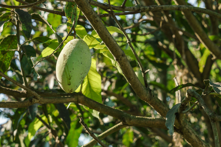 Photo of a mango on the mango tree