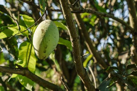 Photo of a mango on the mango tree