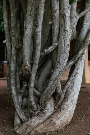 The twisted trunk of Ficus benjamina, Banyan Tree. Imagens