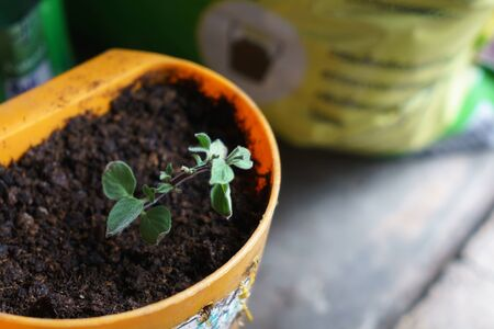 Oregano plant grown in a plastic pot by cuttings