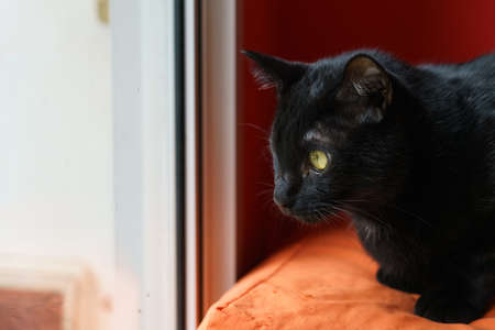 The black cat sat in a chair and looked out the window.