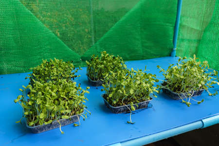 Sunflower seedlings grown in plastic trays are placed on the shelf