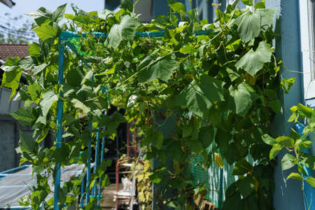 The arbor of the winged bean tree is made of PVC pipes.