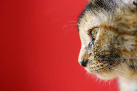 Close-up photo of the cat's face on the left and the red background.