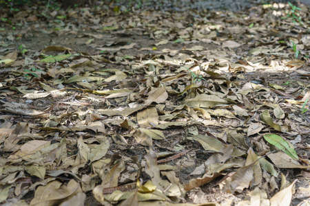 The garden floor was covered with dried mango leaves