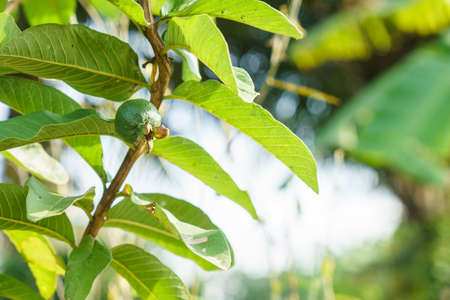 Young guava fruit on a guava tree in the garden