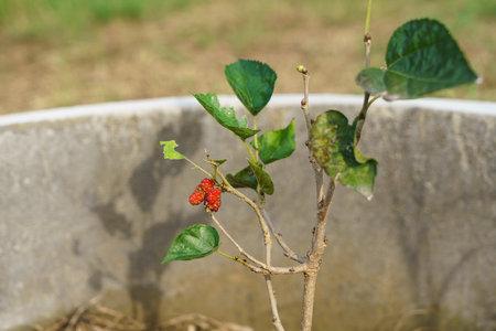 Turkey black Mulberry Fruit turns red before turning black