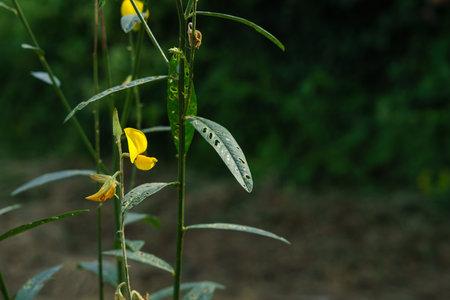 The flowers of the sunn hemp tree (Crotalaria juncea) Reklamní fotografie
