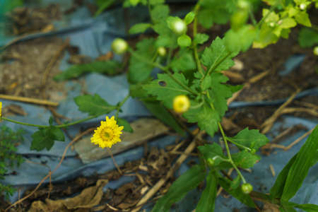 Yellow chrysanthemum flowers that grow in the garden Reklamní fotografie